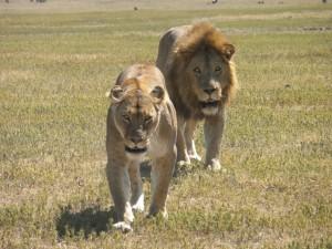 lions on safari image