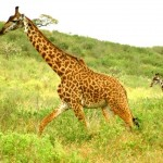 Giraffes on the move image
