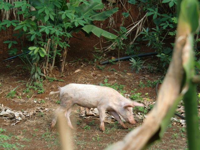 Pig Round Up