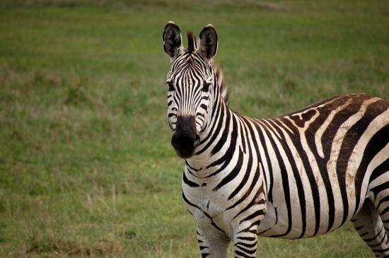 zebra image